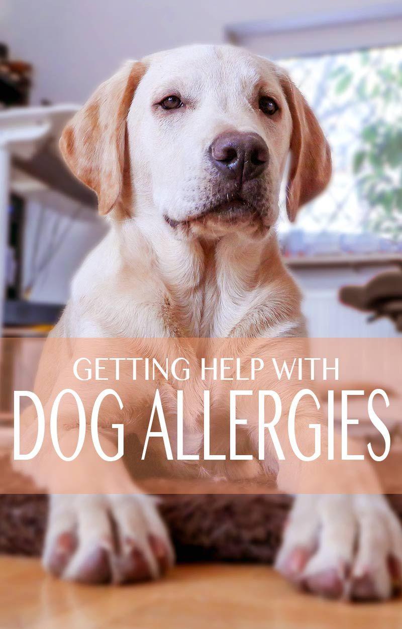 Common Allergies In Labrador Retrievers Labrador Retriever Dog