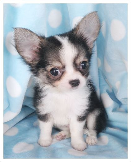 Long Hair Chihuahua Puppy I So Want One Chihuahua Puppies