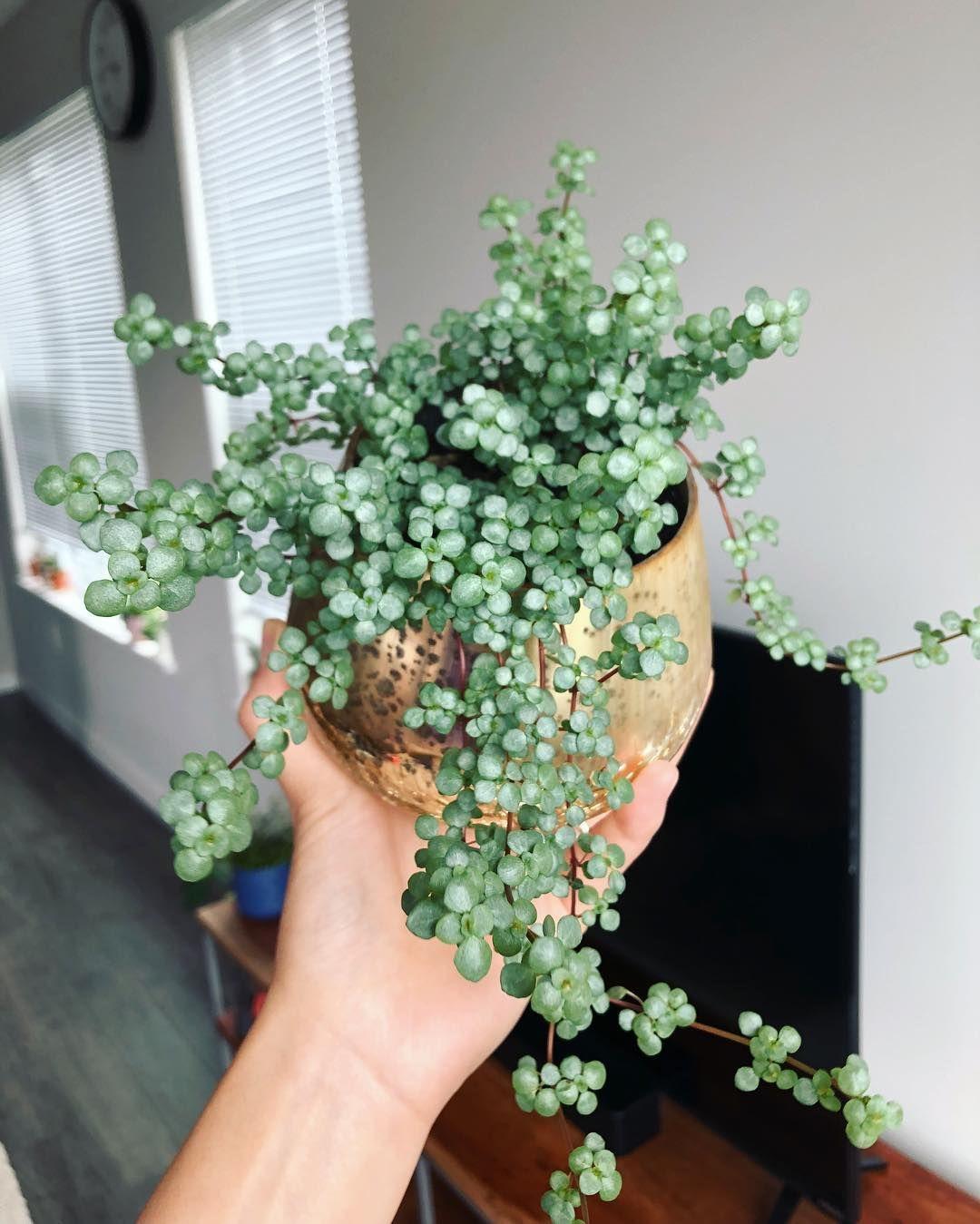 Piante Rampicanti Da Interno pilea glauca | appendere le piante, decorazioni vegetali