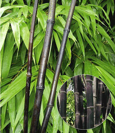 Schwarzer Bambus Black Bamboo 1 Pflanze Garten Pinterest