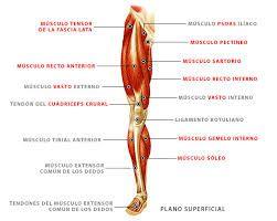 que musculos conforman la pierna