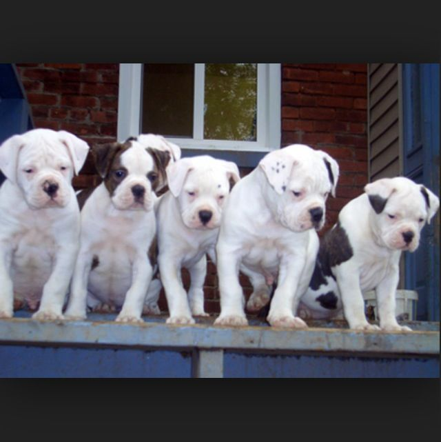 American Bulldog Puppies One Day I Will Have One Perros Boxer