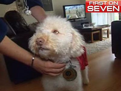 Hero labradoodle wins Pet of the Year