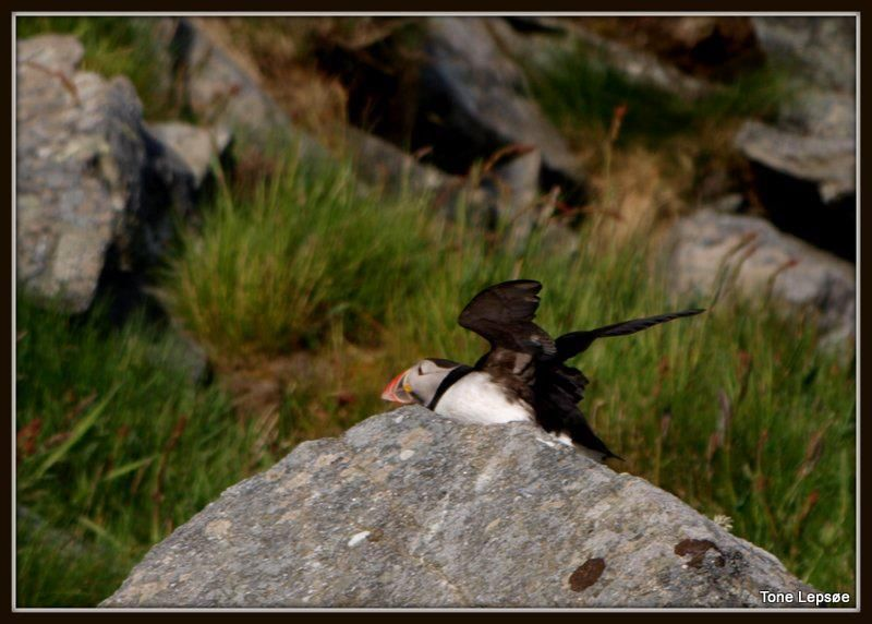 atlantic puffin, Runde, Norway. Tone Lepsoes pictures.