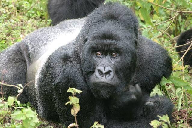 Uganda Safaris Tours for African wildlife safaris, gorilla trekking & cultural safaris. Visit Uganda & experience Africa www.ugandansafaristours.com Uganda Tourisn Safaris http://www.ugandansafaristours.com
