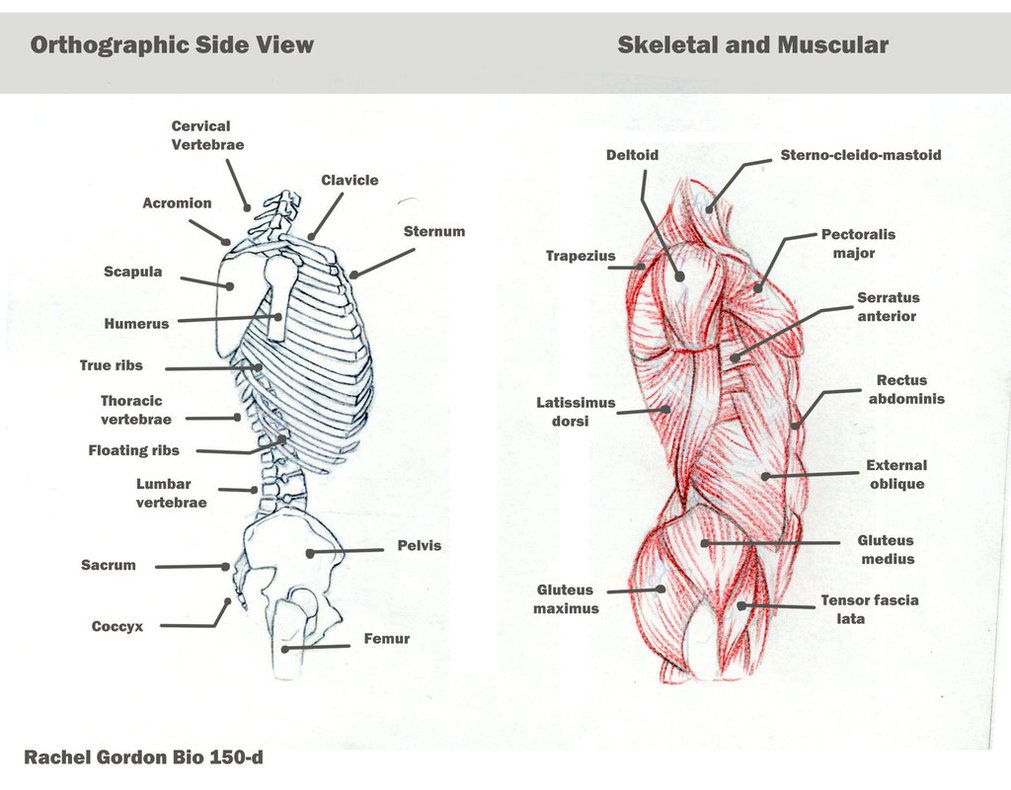 torso side view bones and muscles by arsonanthemkj on deviantart [ 1011 x 790 Pixel ]