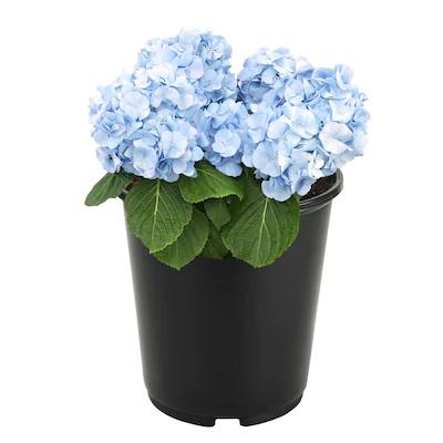 2 5 Quart Multicolor Hydrangea Flowering Shrub In Pot L6357 Lowes Com In 2020 Flowering Shrubs Shrubs Fall Plants