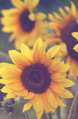 Sunflowers By Indigo Crossing Tumblr Flores Pinterest