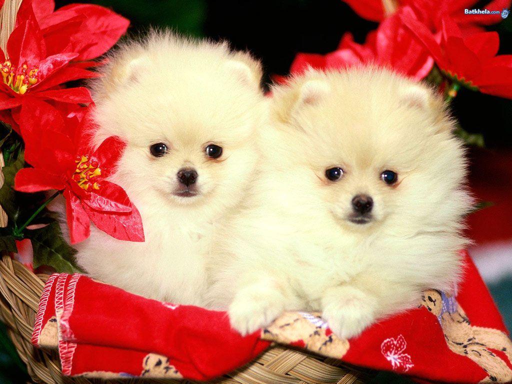 Dogs Wallpaper Cuteness Cute Dog Wallpaper Christmas Puppy Cute White Puppies