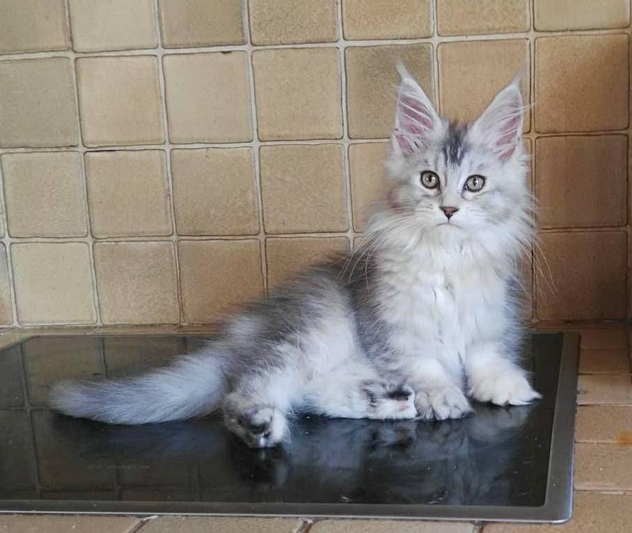 Pin On Main Coon Kittens