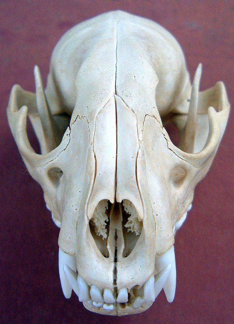 wolf skull - Google Search   animal skulls   Pinterest   Huesos ...