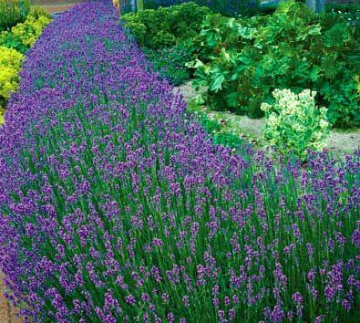 Lavandula Grosso Lavender Varieties Plants Blue Growing