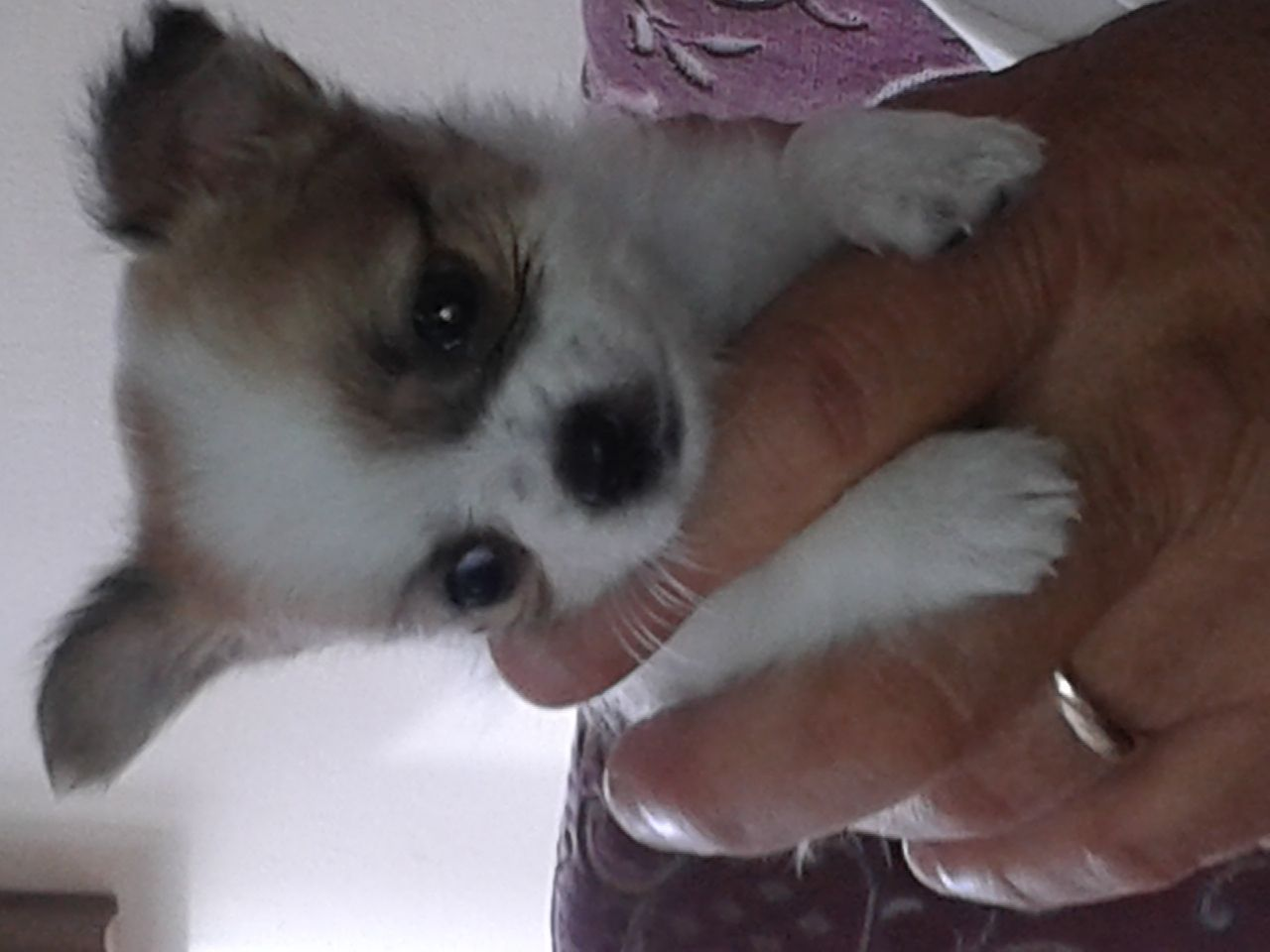 Chihuahua Small Puppy For Sale Walsall West Midlands Pets4homes