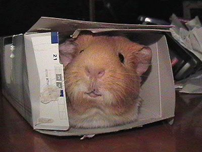 Guinea Pig Photo - Romy in Box by ~straya on deviantART