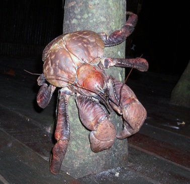 This is the coconut crab. It's huuuuge!