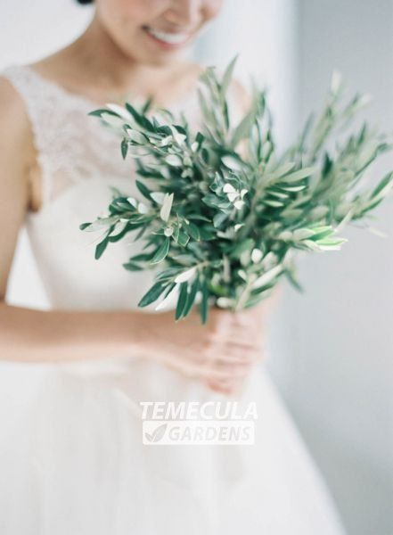 Hey, I found this really awesome Etsy listing at https://www.etsy.com/listing/455955232/fresh-cut-olive-branches-10-branches