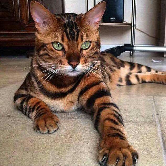 "I believe this is a ""Toyger"" cat.... the outstretched front leg looks just like a tiger's. Incredibly beautiful! 