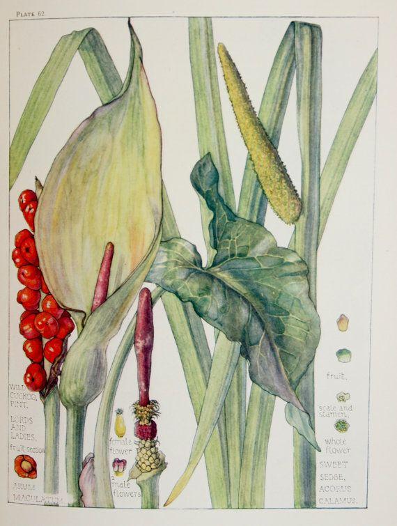 1910 Botanical Print by H. Isabel Adams Arum by PaperPopinjay, $15.00