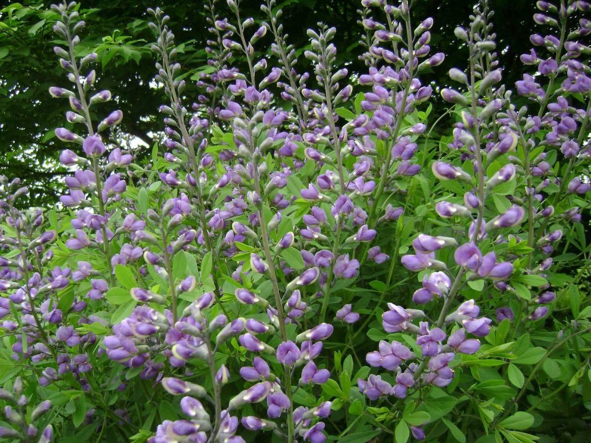 Skullcap {Scutellaria lateriflora} Medicinal plants
