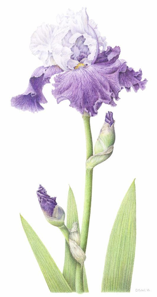 Bearded Iris Purple And White Iris Unframed Botanical Etsy Flower Drawing Botanical Art Drawings