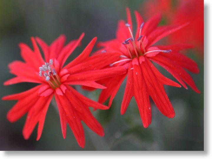 Indian Pink blooms, Silène alifornica, magnifique ce rouge