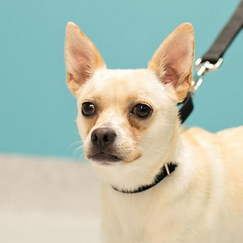 Adopt Lucy On Dogs Chihuahua Pug Mix