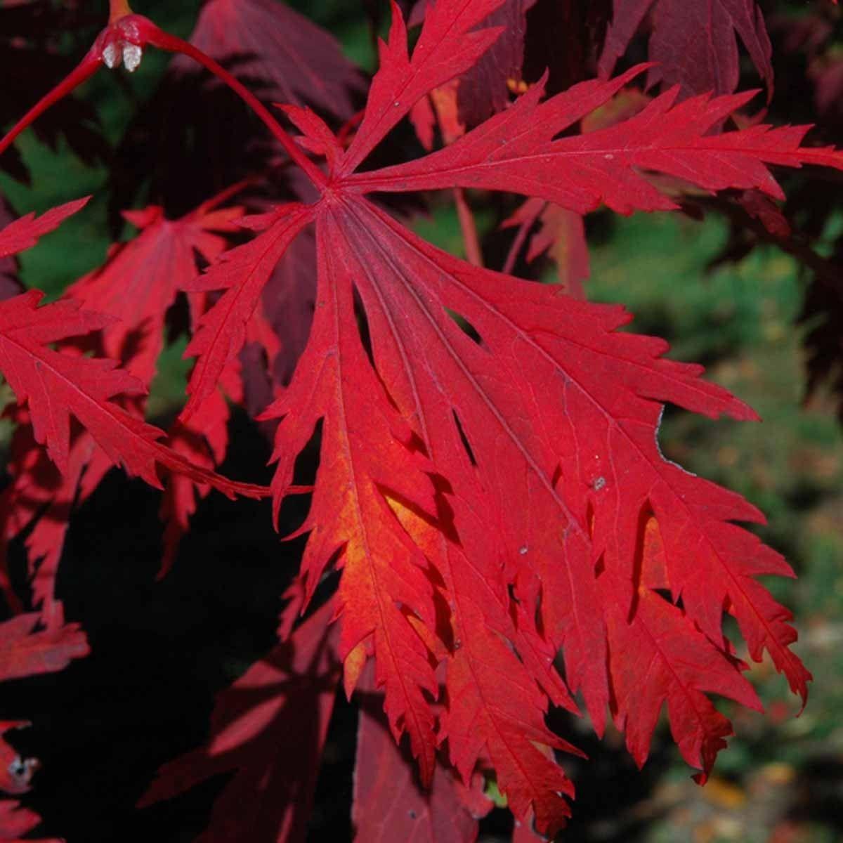 Viftebladet løn (Acer japonica ´Acontifolium´) 100-125 cm