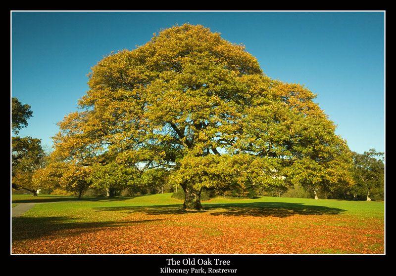Old Oak Tree In Northern Ireland Oak Tree Beautiful Tree Old Oak Tree