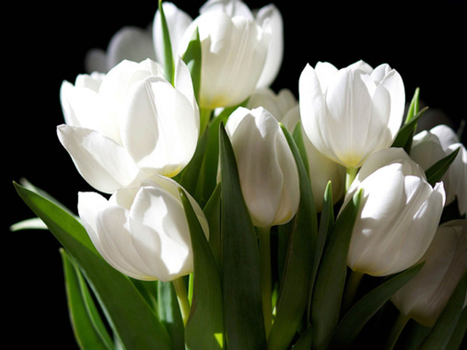 White Tulips Google Search Stephanie L 090817 Pinterest