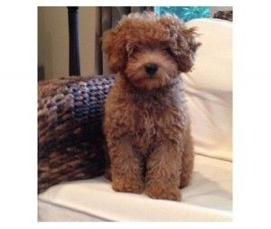 Cavapoo Puppies Las Vegas Cavapoo Puppies Cute Baby Animals