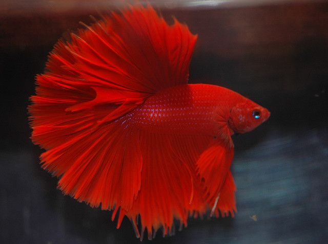 Red halfmoon betta i love this one will keep me company for Big betta fish