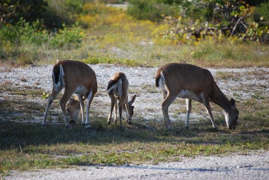 National Key Deer Refuge, Big Pine Key: See 312 reviews, articles, and 146 photos of National Key Deer Refuge, ranked No.2 on TripAdvisor among 40 attractions in Big Pine Key.