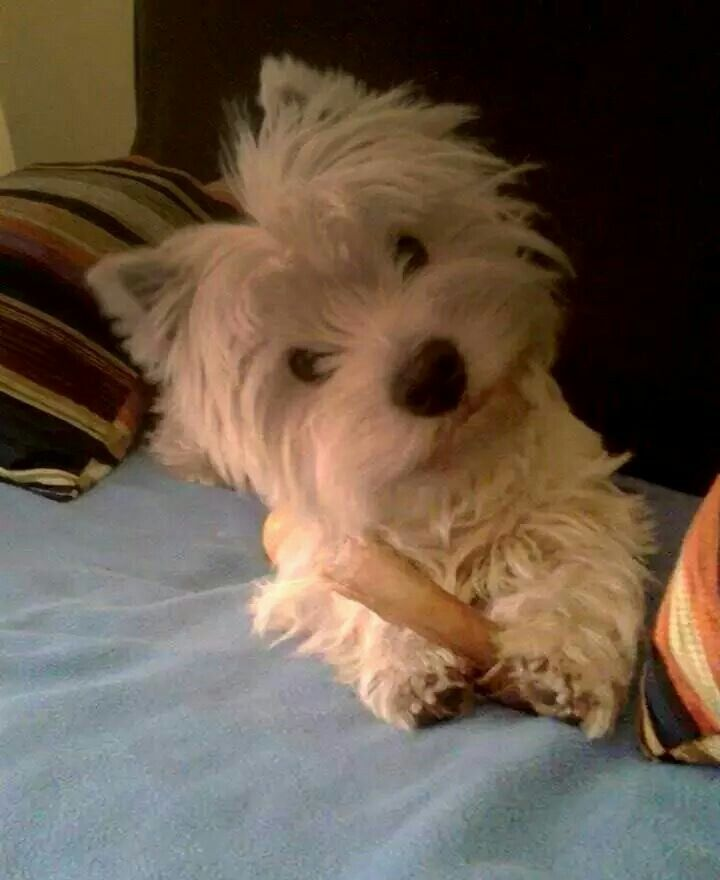 Lolo So Sweet From A Fb Account Westie Puppies Westies