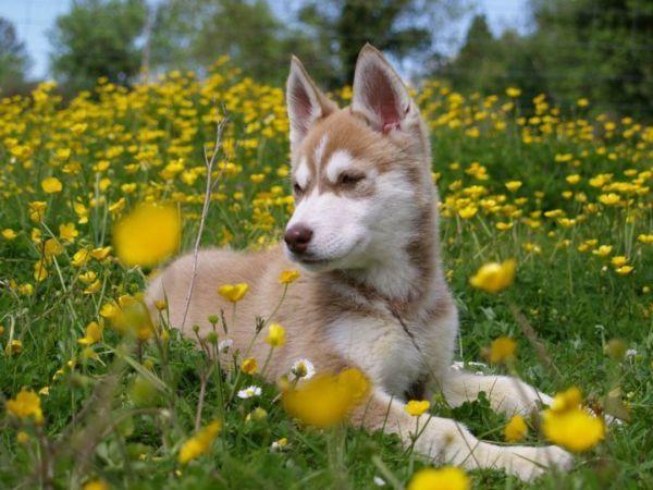 Husky Pup Husky Husky Puppy Pup