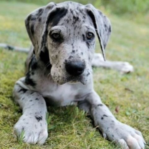 Pin By Austin Rhodes On Animals Great Dane Dogs Dane Puppies