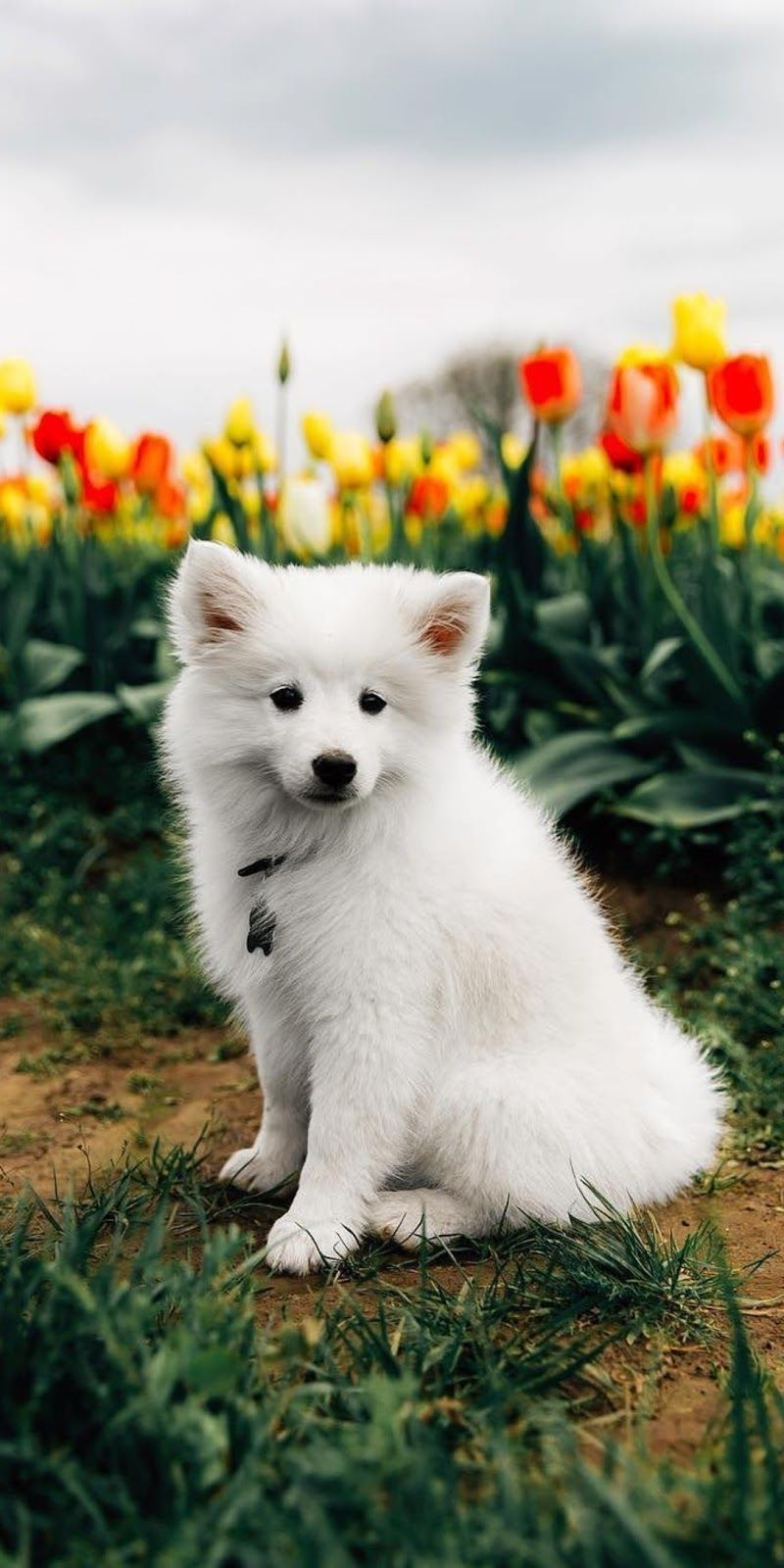 Cute Puppy Wallpaper Download At Http Www Myfavwallpaper Com 2018 08 Cute Puppy Wallpaper Html Iphon Cute Puppy Wallpaper Puppy Backgrounds Puppy Wallpaper