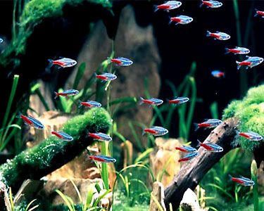 Freshwater Fish That School Neon Tetra Aquarium Aquarium Fish