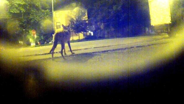 Coyotes, the victims of attempted extermination, have found a way to thrive.