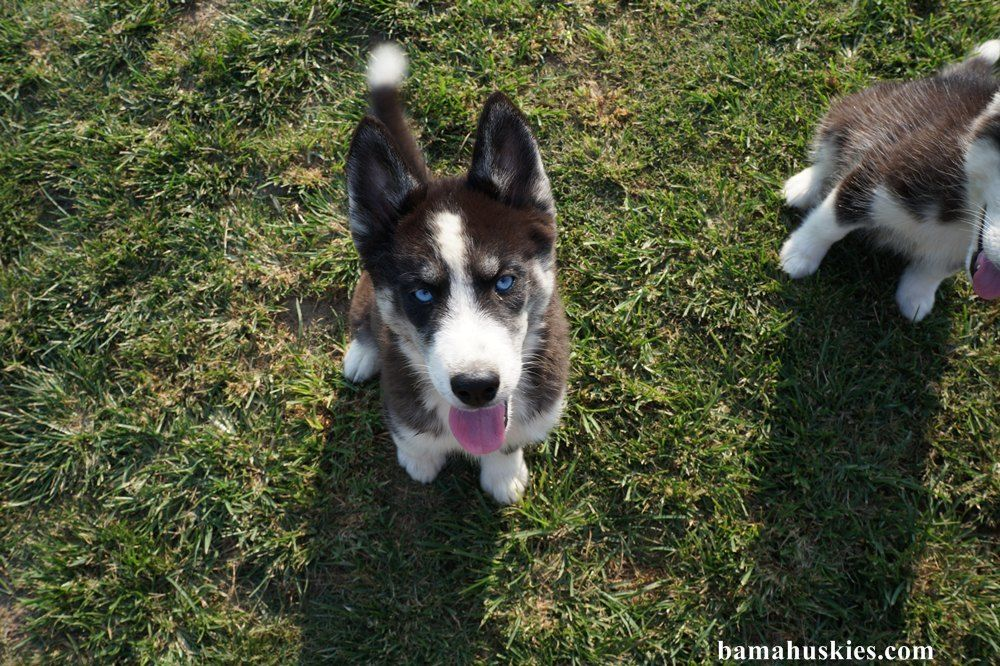 New Husky Puppy Pics We Have Husky Puppies For Sale Tennessee