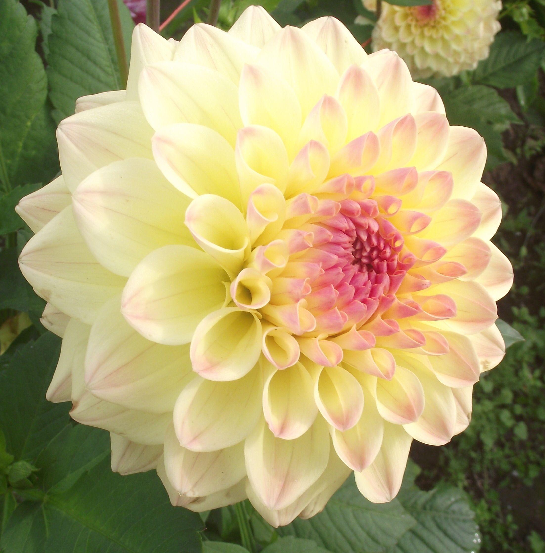 Janz Kalena Dahlia 6 8 Bloom Yellow And Pink Flowers