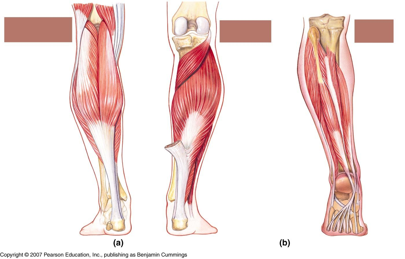 leg muscle diagram labeled hks type o turbo timer wiring google search sports med