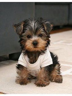 Such A Cute Little Dog With Images Yorkie Puppy Cute Animals