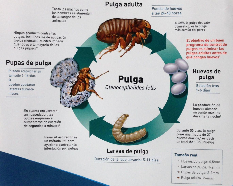 Cómo se propagan las pulgas