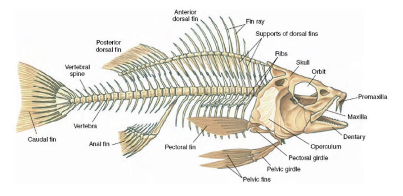 0.png (1112×541) | Actinoptergains | Pinterest | Skeleton anatomy ...