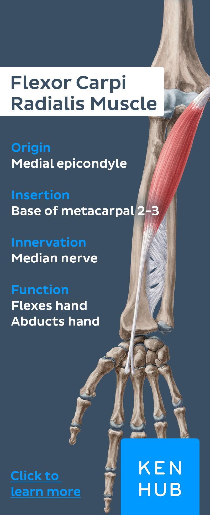 Superficial Flexors Of The Forearm Pinterest Median Nerve