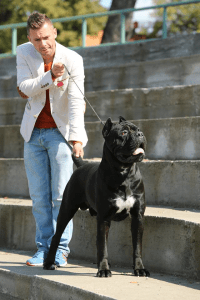 Strong Cane Corso From A Famous Bloodline Cane Corso Italian