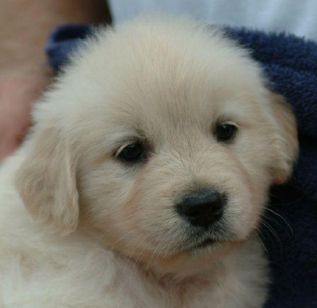 Golden Retriever Puppy For Sale Cute Puppies Golden Puppy