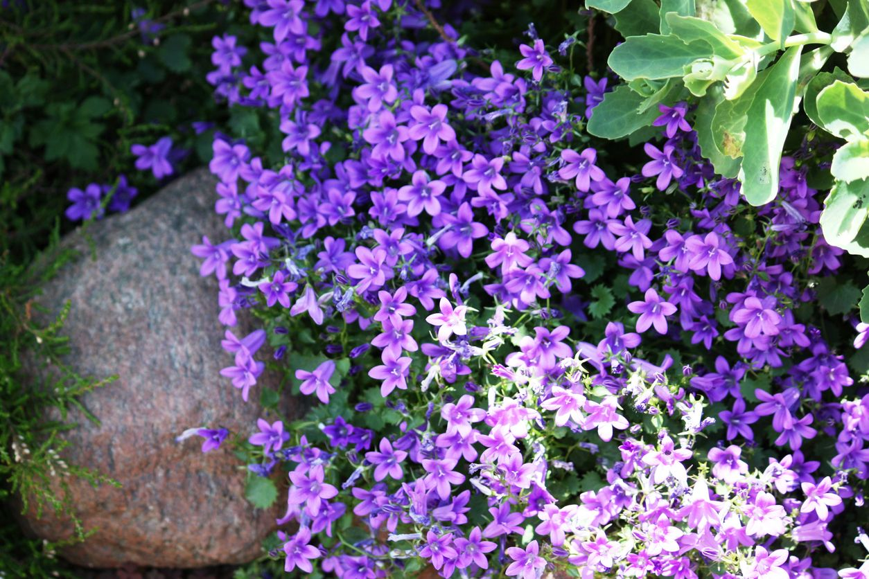 False rockcress plants learn how to grow aubrieta groundcover