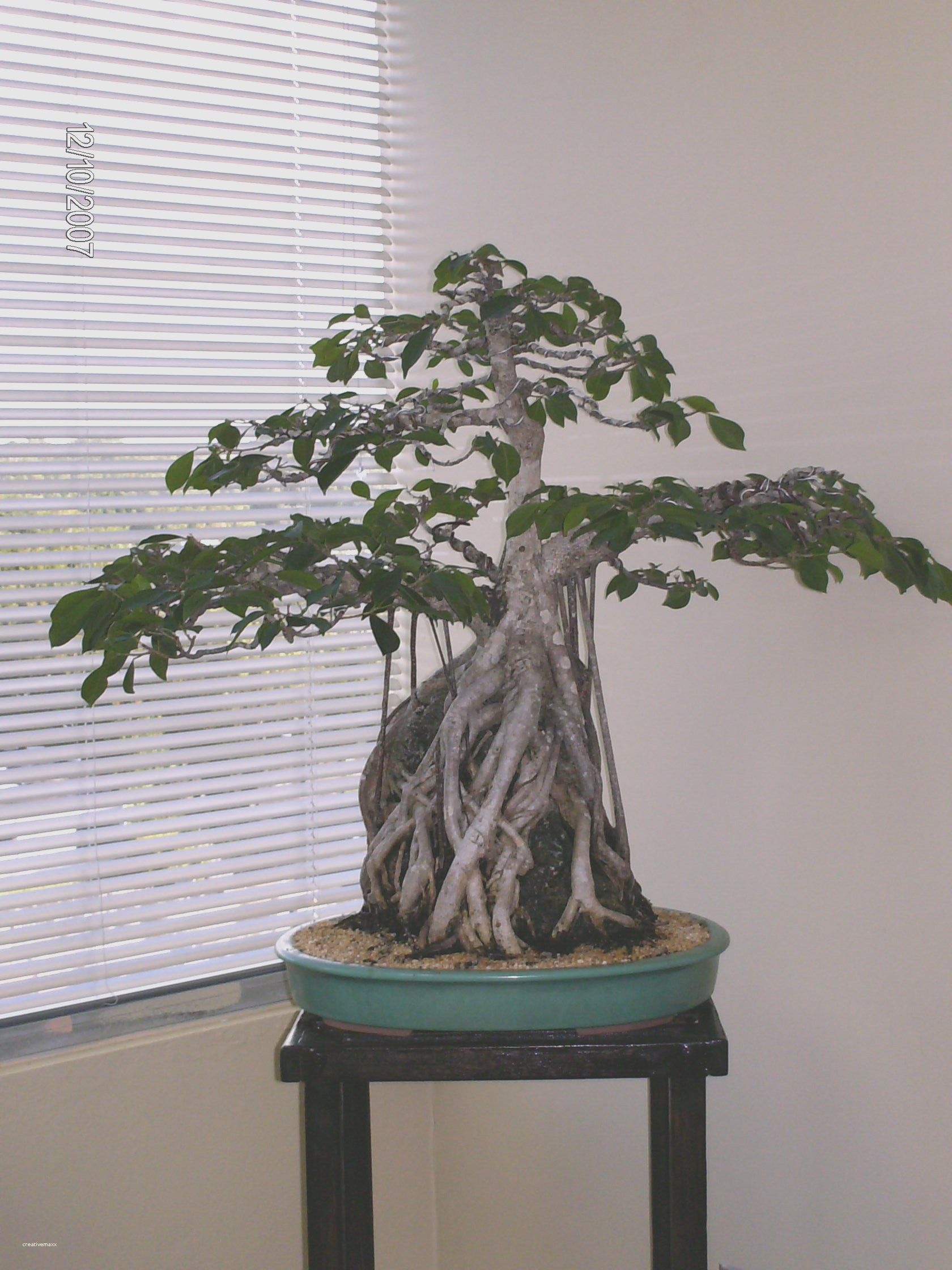 Elegant Bonsai Tree Indoor House Plants | Bonsai, Indoor house ...