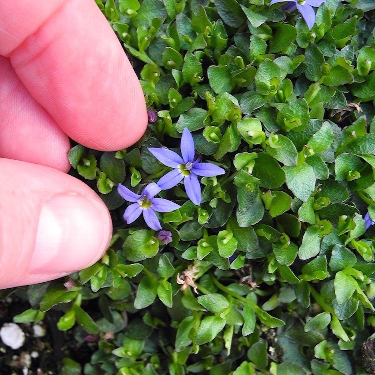 Blue Star Creeper Pratia Pendunculata County Park Miniature Garden Miniature Garden Plants Plants